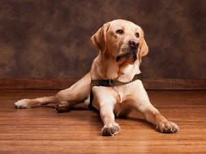 guide_dogs_photo